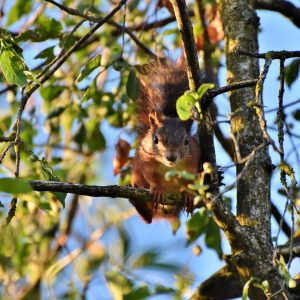 squirrel-4391113_1920